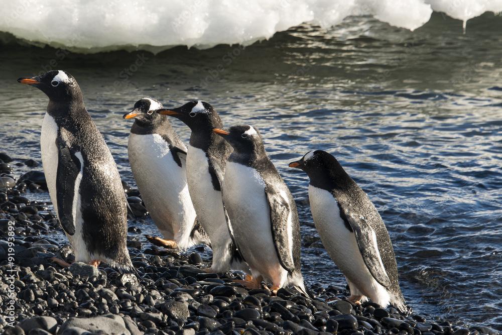 Manchot Papou, Pygoscelis papua, Brown Bluff, Terre de Graham, Antarctique