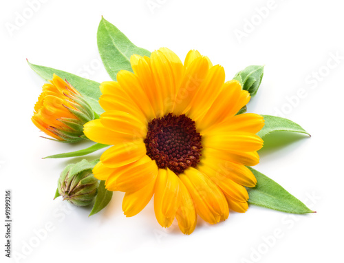 Fotografía  Calendula. Flower with buds and leaves isolated on white
