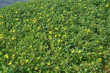 Large Flower Primrose