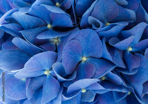 Photo sur Toile Hortensia Blue Hydrangea macrophylla flower