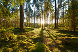 Fototapeta Las - Sunrise in pine forest