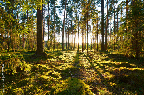 Foto op Canvas Bossen Sunrise in pine forest