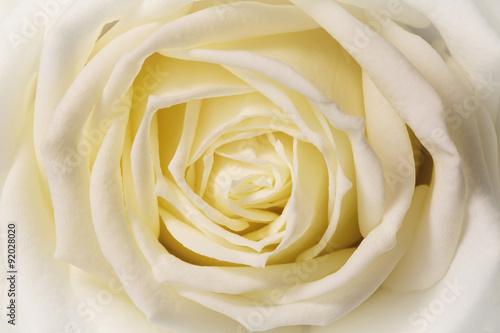 biala-roza-zblizenie