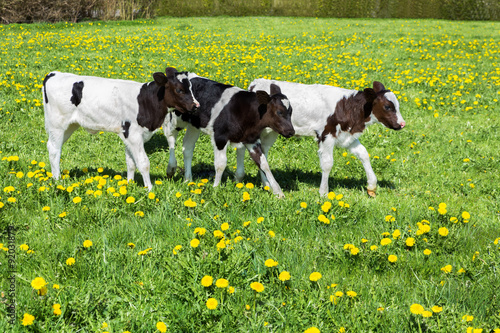 Fotografie, Obraz  Three black white calves walk in green meadow with dandelions