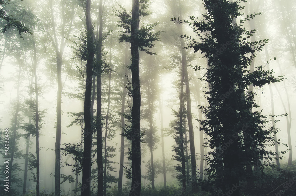 Fototapety, obrazy: trees in foggy forest
