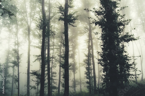Papiers peints Forets trees in foggy forest