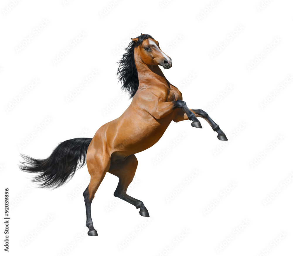 Fototapety, obrazy: Bay stallion rearing - isolated on a white background
