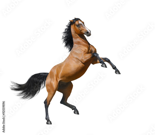 Foto op Canvas Paarden Bay stallion rearing - isolated on a white background