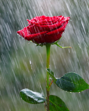 Red Rose Into The Rain