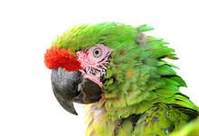 Military Macaw (Ara Militaris ...