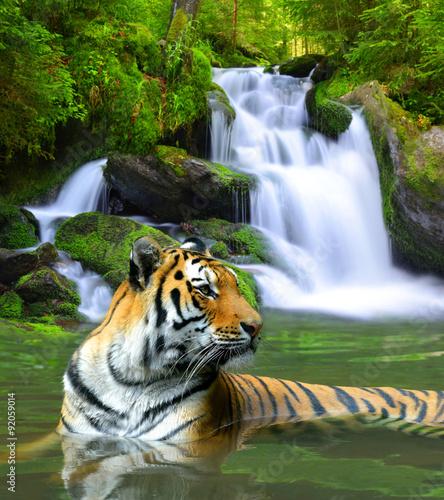 Obrazy na płótnie Canvas Siberian Tiger in water