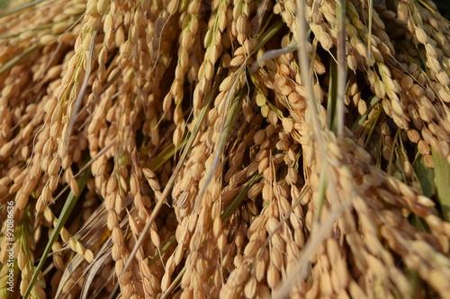 Stampe  収穫された稲穂/山形県の庄内地方で稲刈りが始まり、収穫された稲穂を撮影した写真です。