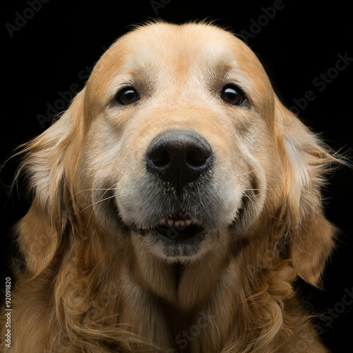 Golden retriever Fotobehang