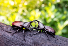 Rhinoceros Beetle Fighting On ...