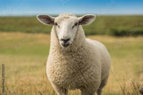 Fotografie, Obraz  Schafe an der Nordsee