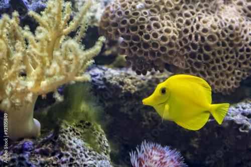 Foto op Plexiglas Indonesië Yellow Tang Tropical Fish