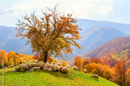 Foto auf Gartenposter Hugel Sheep under the tree in Transylvania