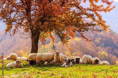 Sheep under the tree in Transylvania