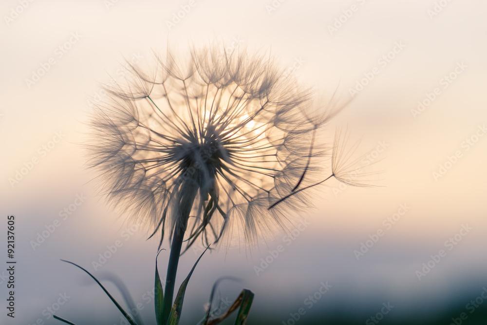 Fototapety, obrazy: dandelion in the sunset