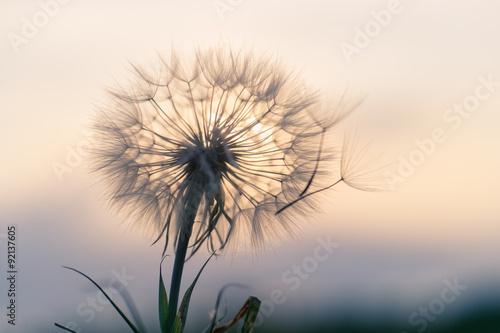 Pissenlit dandelion in the sunset