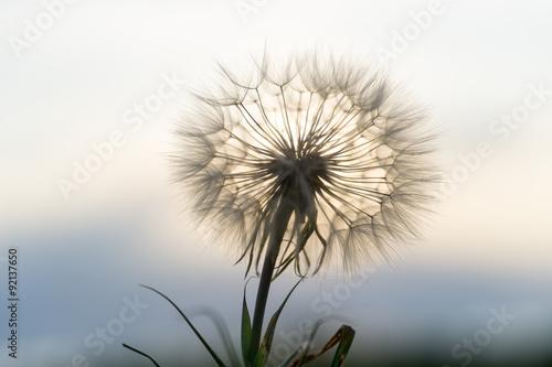 dandelion in the sunset