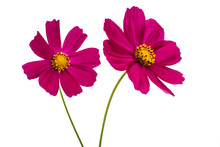 Purple Cosmos Flower