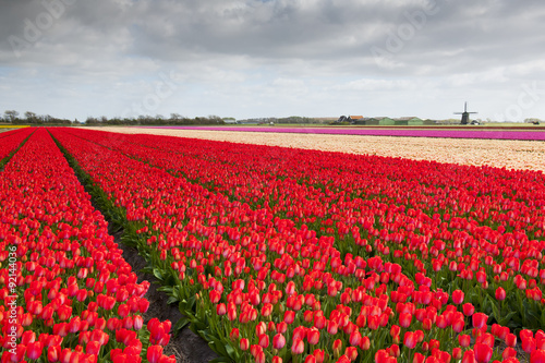 Tulip field with different colors of tulips and windmill in the background, North Holland, The Netherlands.