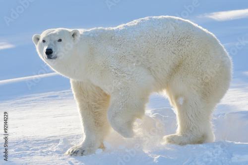 Staande foto Ijsbeer Polar bear (Ursus maritimus) mother standing at freshly opened den, with backlight, Wapusk national park, Canada.