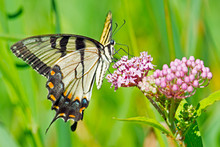 Tiger Swallowtail Butterfly Feeding On Some Flowers