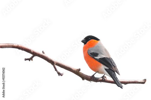 Obraz na plátně Bullfinch isolated