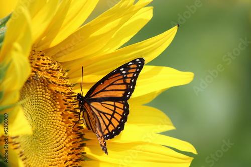 In de dag Zonnebloem Monarch on Sunflower
