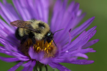 New England Aster And Bumblebee