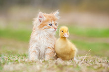 Adorable Red Kitten With Littl...