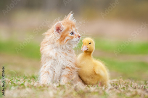 Photo  Adorable red kitten with little duckling