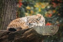 Eurasian Lynx Sleeping On A Tree