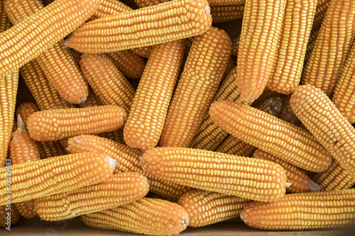 Valokuva Dried corn background