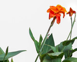Canna lilly flower with green leaf on white background