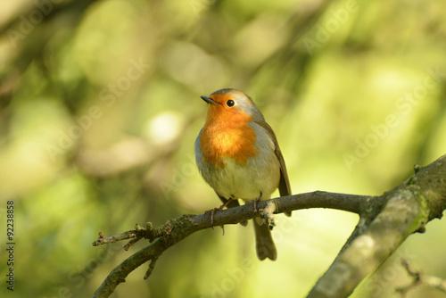 Fototapety, obrazy: Robin, Erithacus rubecula