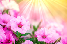 Petunia Flowers With Sunrays