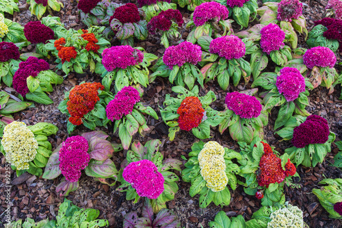 Fotografie, Obraz  Cockscomb flowers