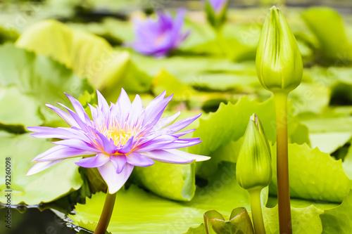 lotos-w-naturalnym-srodowisku