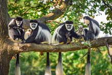 A Troop Of Mantled Guereza Mon...