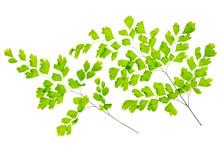 Maidenhair Fern Leaves Is Isol...