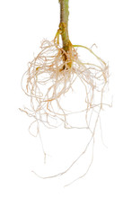 Tomato Plant Exposed Roots Is Isolated On White Background