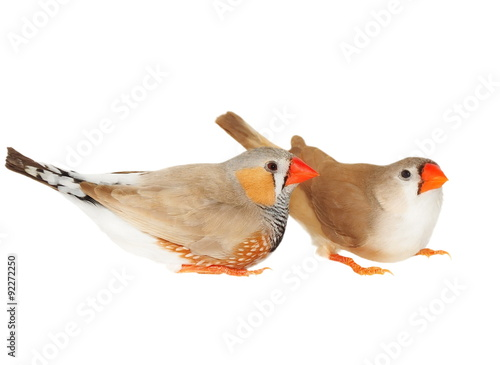 zebra finch, isolated on white background with clipping path, taeniopygia guttat Poster Mural XXL