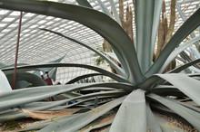Close Up Of Huge Agave Plants