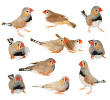Set Zebra Finch Isolated On Wh...