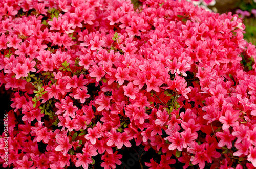 Tuinposter Azalea Japanese azalea in spring