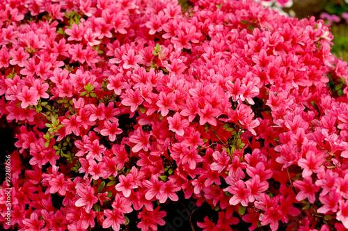 Fotobehang Azalea Japanese azalea in spring