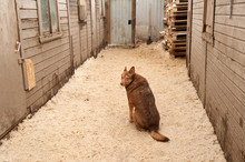 Red Dog Sits On Sawdust Betwee...